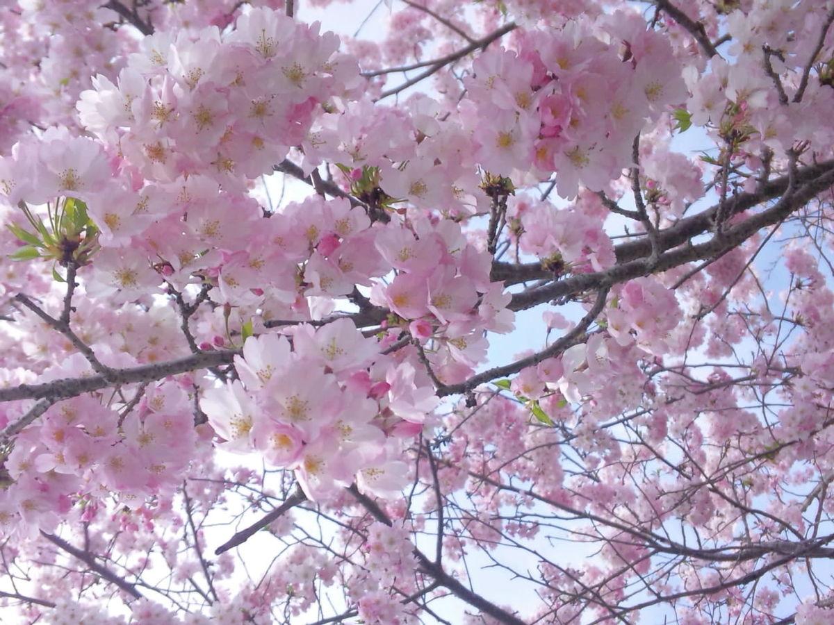 桜満開の入園式